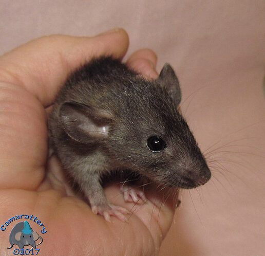 Harlan Dark Agouti Rat