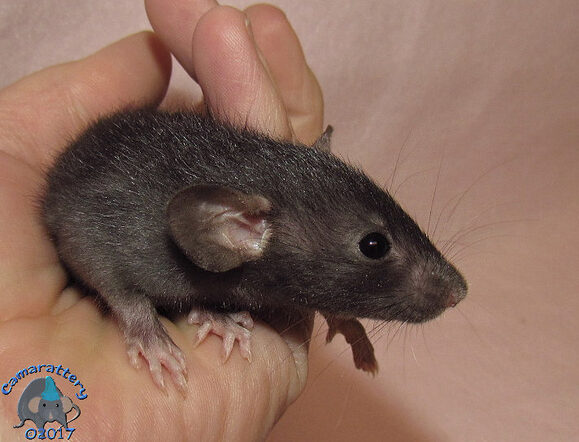 Black Self Dumbo Rat
